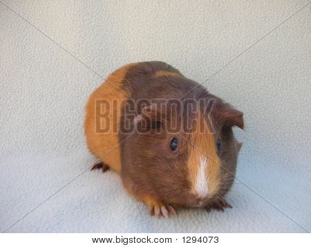Timid Guinea Pig