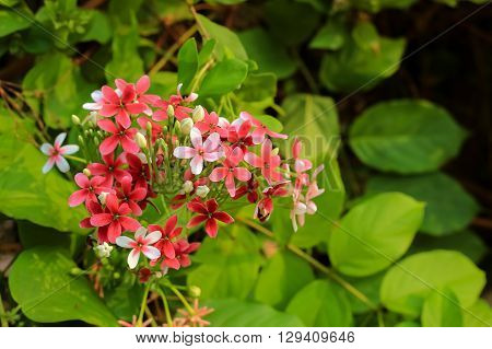 Quisqualis indica also known as the Chinese honeysuckle Rangoon Creeper and Combretum indicum