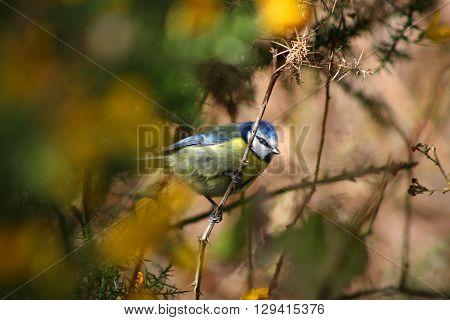A Blue Tit in a gorse bush