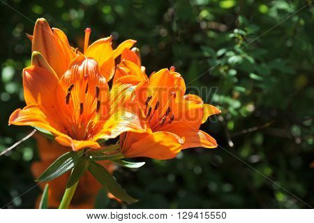 Orange tiger lily on a dark green background