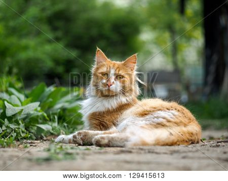 Cat on a footpath. Cat red, street, homeless. Green grass. Fuzzy cat, dirty fur. Strange yellow eyes