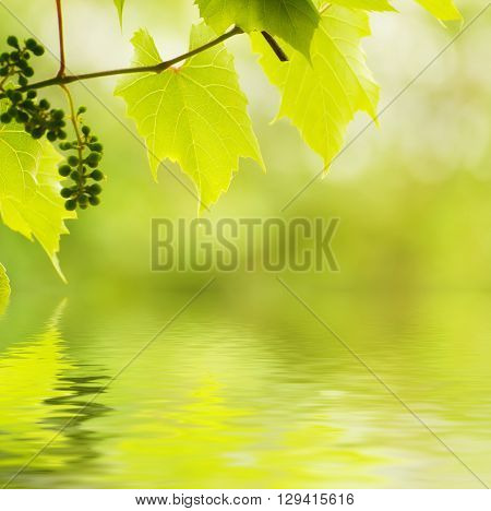 Sunny young green vine spring  leaves, natural eco background with water reflection