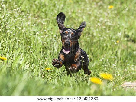 rabbit dachshund puppy