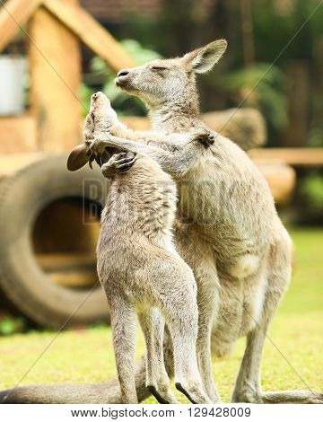 two kangaroos fighting and hugging each other