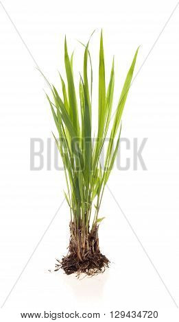 green plant on a white background, isolated