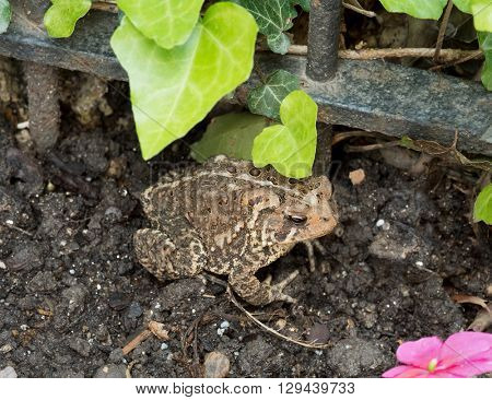 Eastern American Toad in the Garden