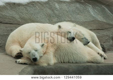 White big polar she-bear sleeping with cubs