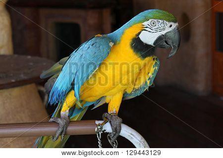 Parrot Ara Ararauna / Parrot Blue-and-Yellow Macaw