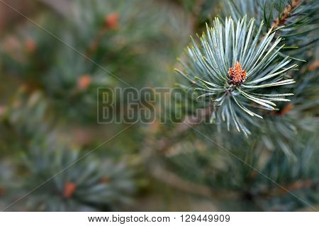 Scots pine pinus sylvestris buds and needles