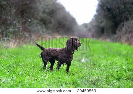 liver working cocker spaniel in the rain poster