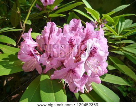 Pink Blossoming Rhododendron In The Spring