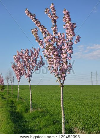 Pink Blooming Trees Along A Road