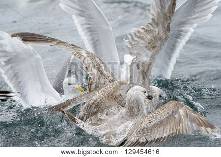 Group of Hering gulls quarreling over fodd in water.