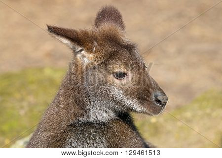 Bennets Wallaby close up with a green background