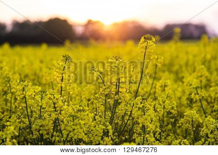 A field of yellow rapeseed or rape seed flowers at sunset or sunrise