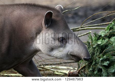 Portrait of a Tapir with a green tree