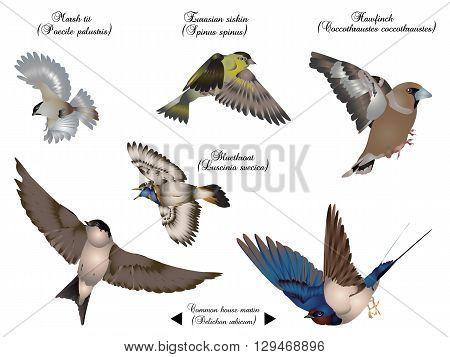 it is illustration of European birds in flight