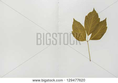 Open Herbarium Album With Acer Negundo Leaf And Blank Page