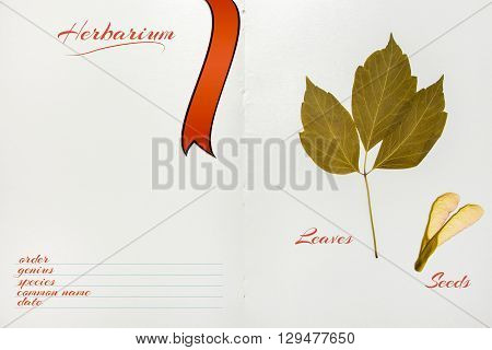 Open Herbarium Album With Acer Negundo Seeds And Leaves