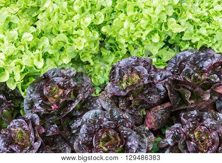 Fresh organic lettuce of the vegetable plot in the countryside farm.