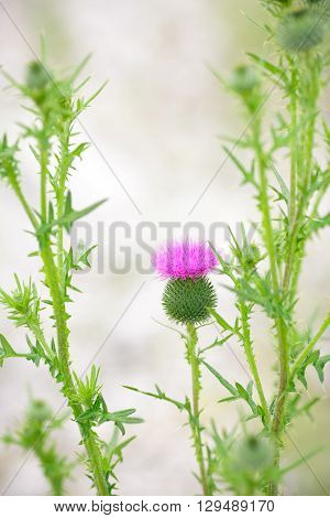Vintage photo thistle flowers on background light bokeh