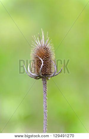 The dry flower heads of teasel (Dipsacus fullonum)