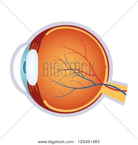 Illustration of a human eye cross section on the white background.