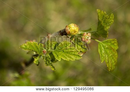 Young black currant shoots affected by mites. Illness plant of currant affected by parasite.