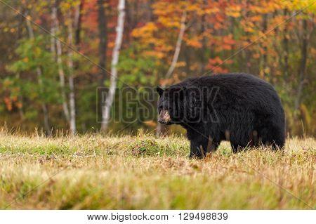 Adult Female Black Bear (Ursus americanus) Looks Back - captive animal