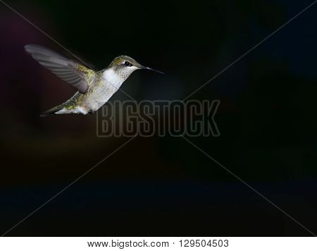Detailed look of a hummingbird wing in stop action.