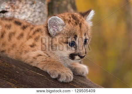 Female Cougar Kitten (Puma concolor) Looks Right Closeup - captive animal