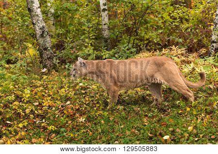Adult Male Cougar (Puma concolor) Stalks - captive animal