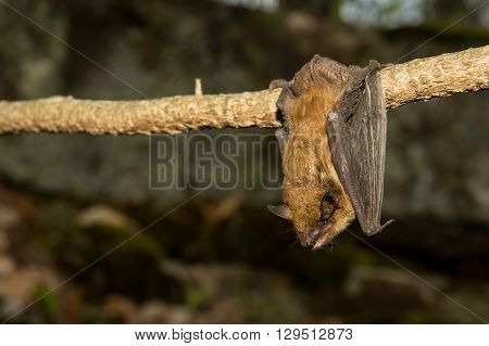 A Big Brown Bat roosting on a vine outside.