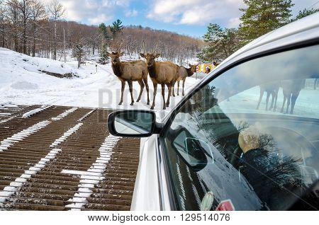 Deers blocking the way in Montebello Quebec Canada