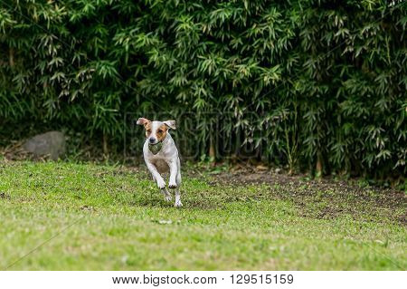 Jack Russell Terrier Dog Jumping On A Field With His Favorite Toy