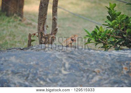 lizards,chameleon, lizards on stone,chameleon on stone,small chameleon,small lizards