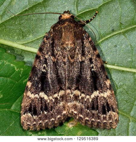 Copper underwing moth (Amphipyra pyramidea). British insect in the family Noctuidae the largest British family moths in the order Lepidoptera