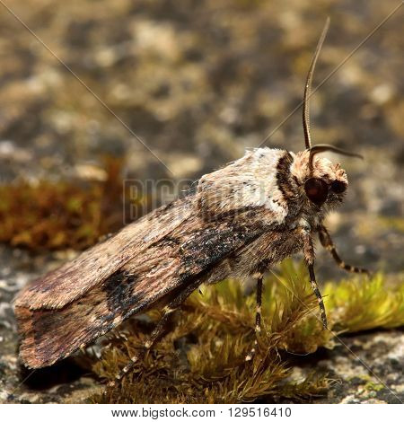 Shuttle-shaped dart moth (Agrotis puta). British insect in the family Noctuidae the largest British family moths in the order Lepidoptera