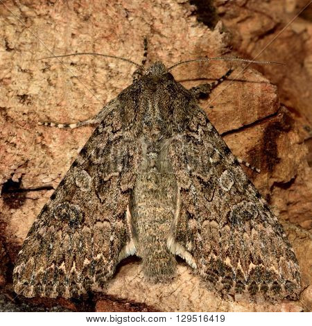 Dusky brocade moth (Apamea remissa). British insect in the family Noctuidae the largest British family moths in the order Lepidoptera