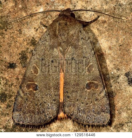 Lesser yellow underwing moth (Noctua comes). British insect in the family Noctuidae the largest British family moths in the order Lepidoptera