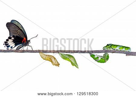 isolated life cycle of female great mormon butterfly from caterpillar with clipping path