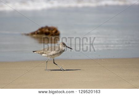 Shorebird walks along Hermosa Beach, California just above waterline.