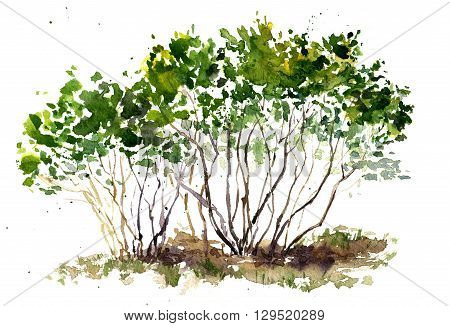 green bushes drawing by watercolor, aquarelle sketch of spring shrubs, painting garden trees, hand drawn art background
