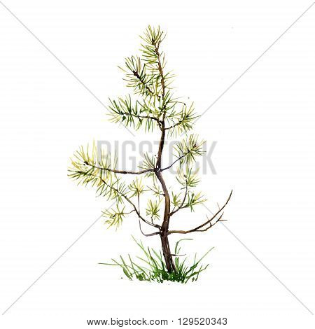 young pine tree and grass drawing by watercolor, aquarelle sketch of wild nature, painting forest, hand painting conifer tree, hand drawn art illustration