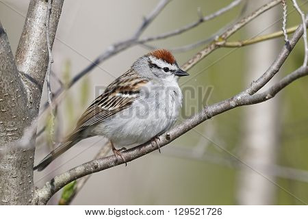 Chipping Sparrow (Spizella passerina) perched in a tree - Ontario Canada