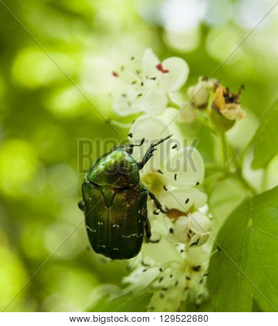 Green beetle sitting on a flowering branch