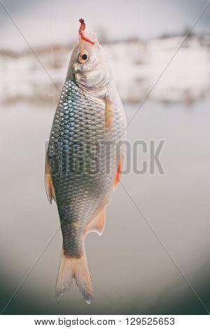 Roach on hook, winter landscape, float fishing, toned image