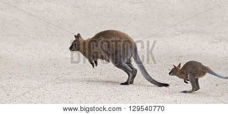 Two Kangaroo Jumping