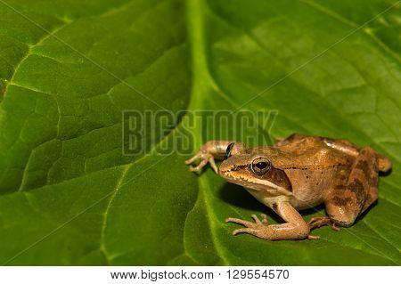 A Wood Frog on a skunk cabbage leaf.