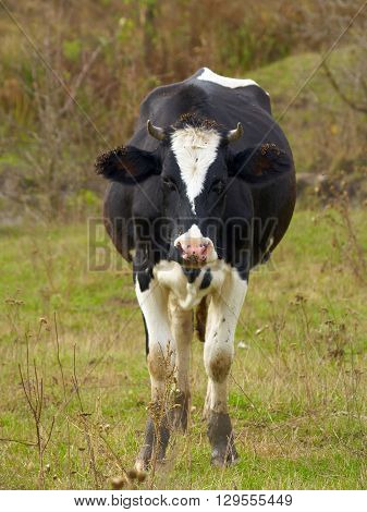 Piebald cow standing on the meadow, faceview